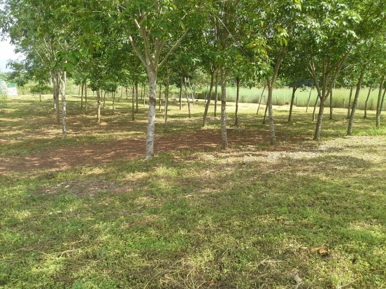 20 rai land loei thailand 450,000 per rai water, electric. chanote, square shaped property with 150 meters road frontage